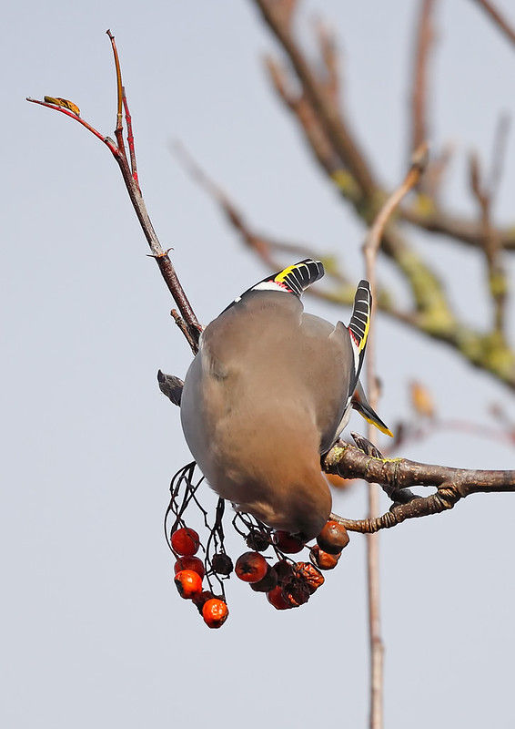 Waxwing [ would not come out of the tree branches]