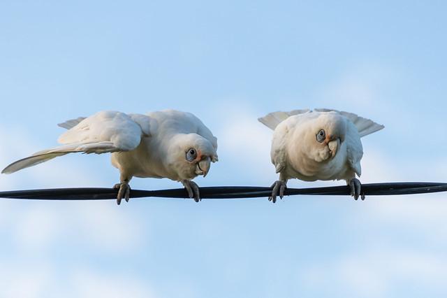 Birds on a wire - Long-billed Corellas showing off