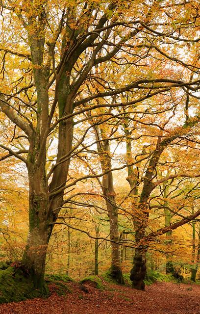 Autumn Beech Line
