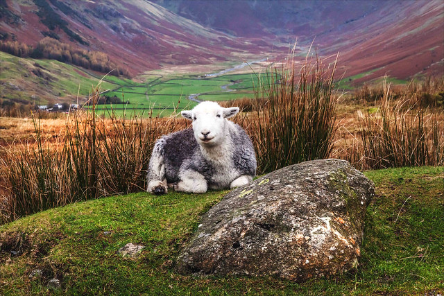 The Guardian of the valley - Herdwick ewe above the Langdale Valley