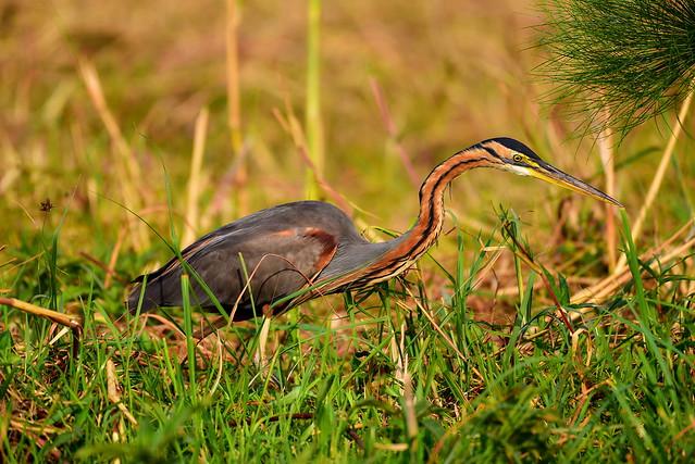 DSC_4234 Goliath Heron 9 Okavango Delta 2019