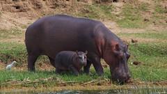 IMGP1004 Baby hippo