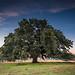 Chad's oak