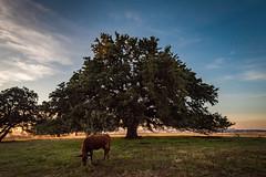 Chad's oak-5