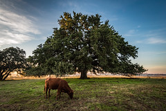 Chad's oak-7