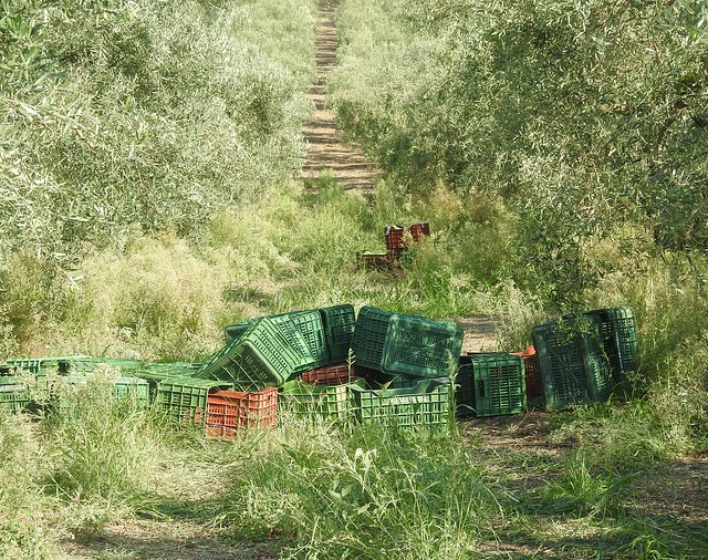 Olive Grove - Harvest Time