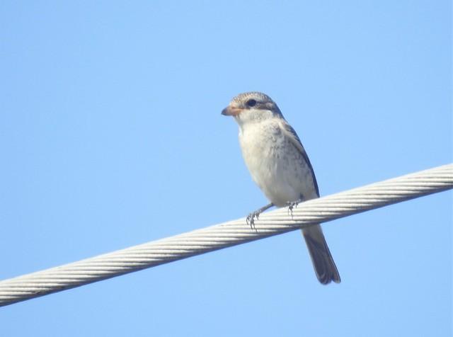 Shrike on Power Line