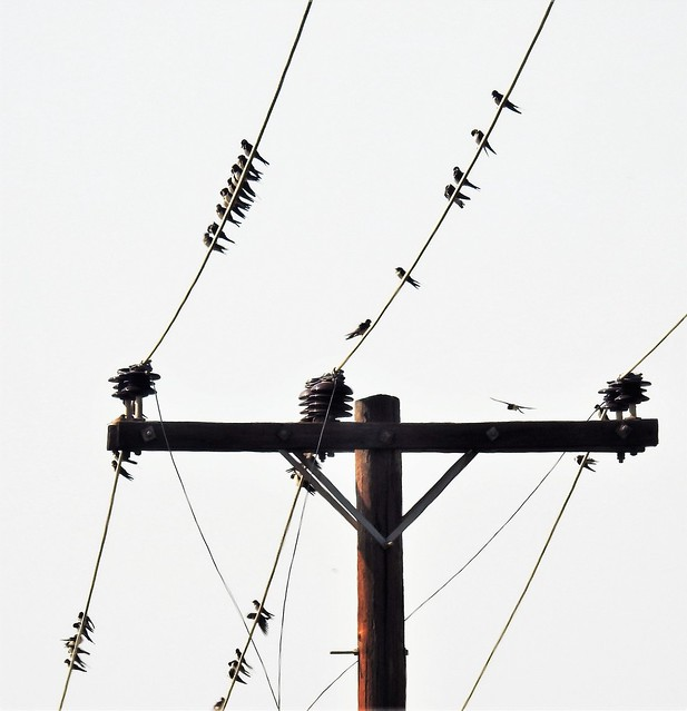 Swallow Congregating on Power Lines