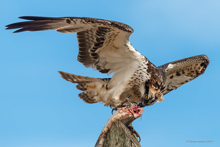 Águia-pesqueira   Osprey   Pandion haliaetus
