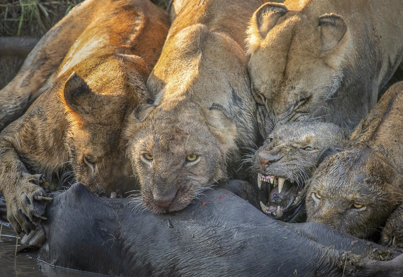 Five muddy lions feeding on a wildebeest