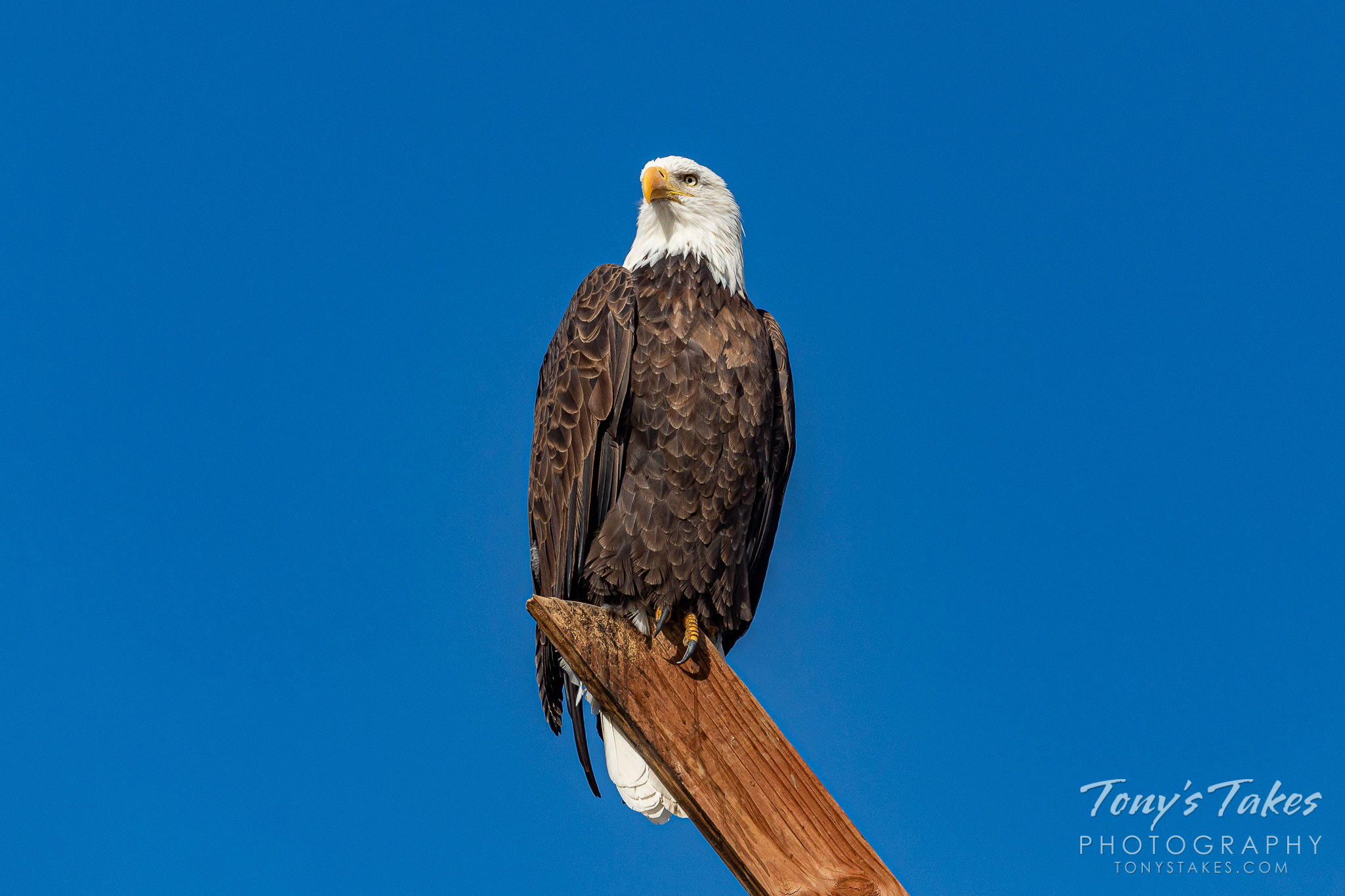 Regal bald eagle strikes a pose for Freedom Friday