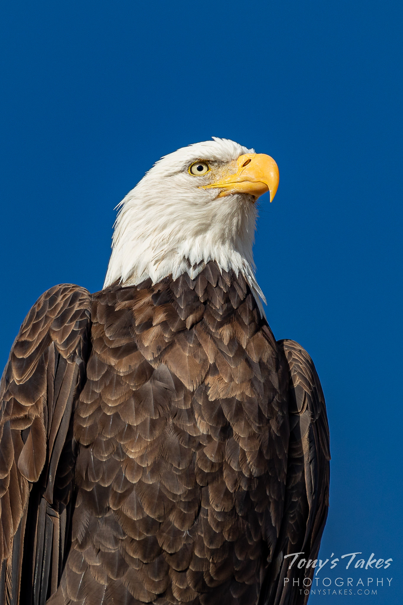 A regal bald eagle on the United States' 244th birthday. (© Tony's Takes)