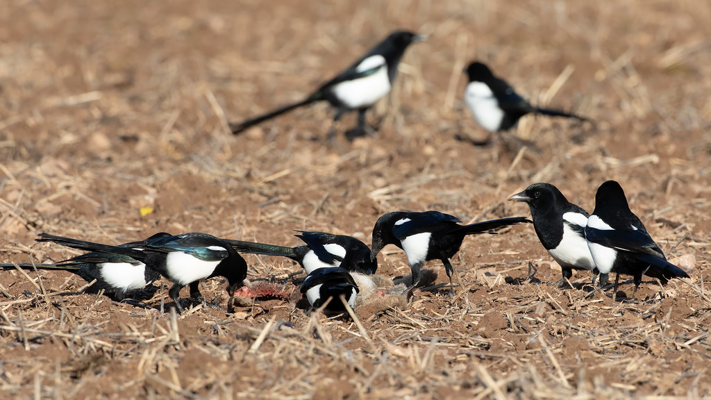 Magpies on a rabbit carcass