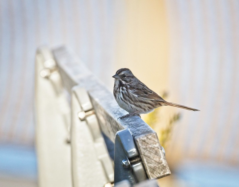 Song sparrow in East River Park