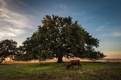 Chad's oak-4
