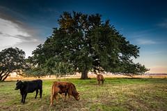 Chad's oak-8