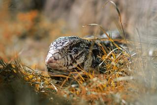 teju lizard on the lurk