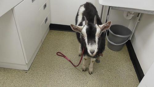 goat kids at vet Nov 19 (5)