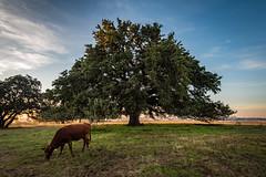 Chad's oak-6