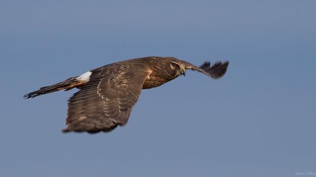 Nothern Harrier 3-