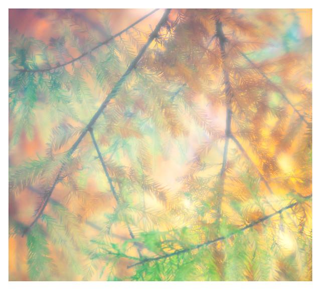 Deciduous conifer