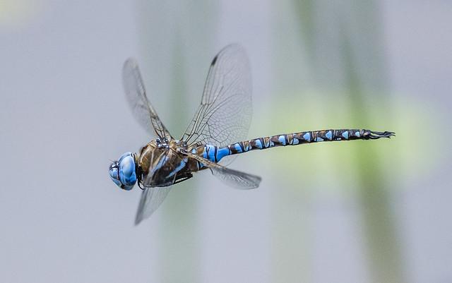 Blue-eyed Darner - Rhionaeschna multicolor (Aeshnidae) 111s-4612