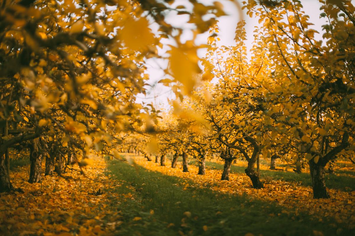 yelloworchard-48