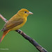 First Year Male Summer Tanager Perched On A Diagonal Branch