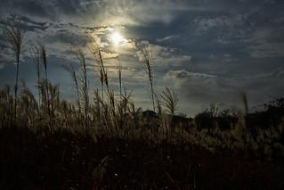 Silver grass sparkling in the autumn sunshine.