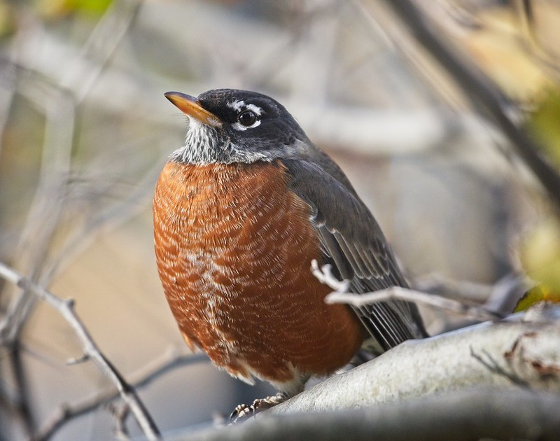 American Robin in East River Park