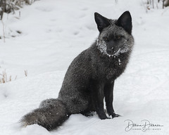 My Silver Fox Morning Visitor