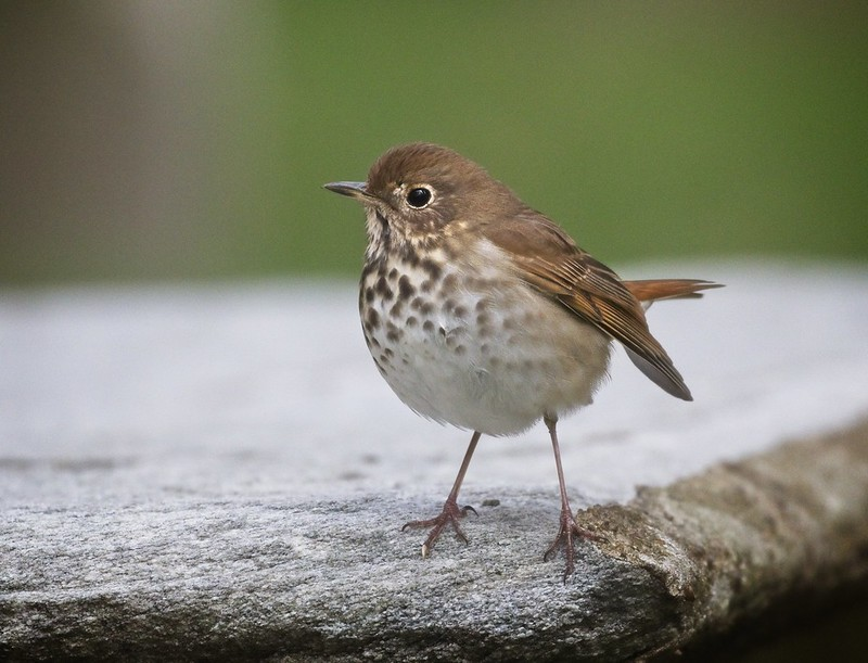 Hermit Thrush in St Paul's Chapel cemetery