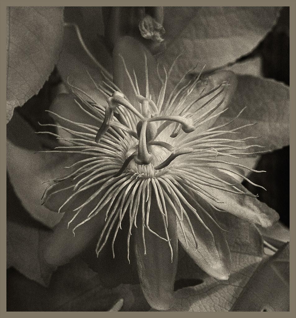 Passiflora IR #3 2019; Pictorialist