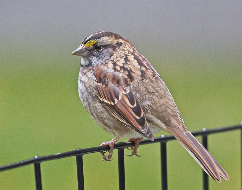 White-throated sparrow in Trinnity Church cemetery