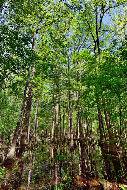 A Portrait Orientation of Tall Cypress Trees Caught in the Light of the Afternoon Sun (Congaree National Park)