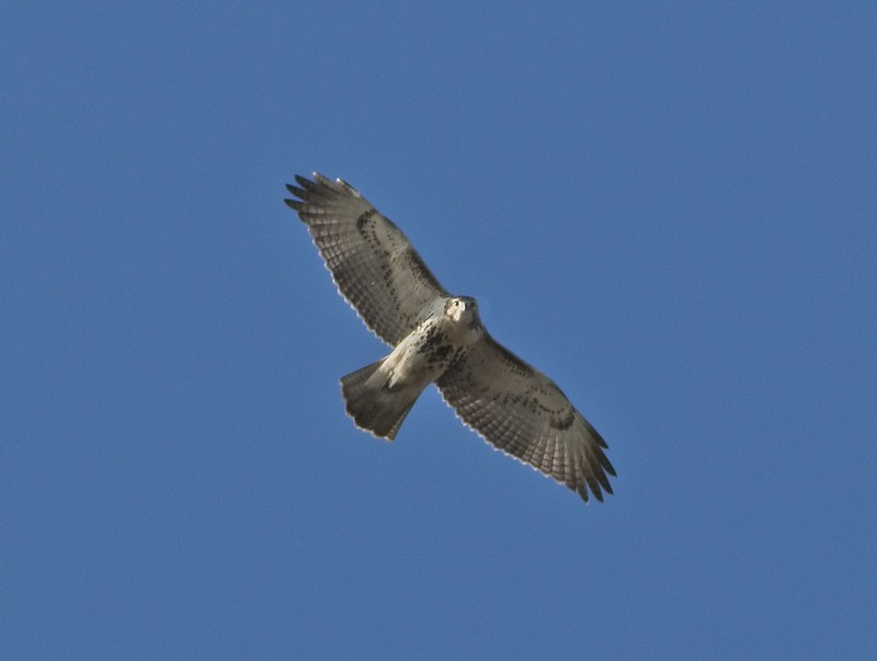 Immature red-tail soaring over the Lower East Side