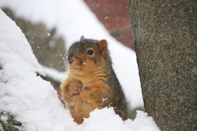 153/366/4170 (November 11, 2019) - Juvenile and Adult Fox Squirrels on a Snowy Day in Ann Arbor at the University of Michigan - November 11th, 2019