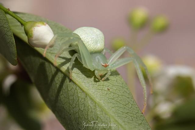 Misumenops species