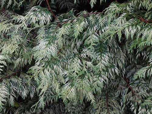 Variegated conifer leaves