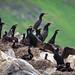 Cormorant Families