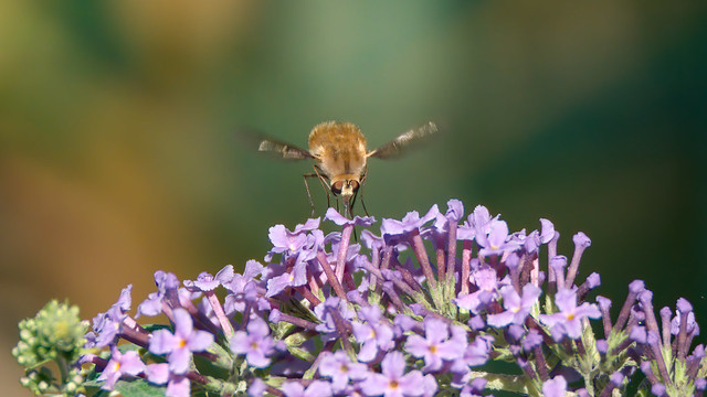 Bee Fly - Bombylius major - Grand Bombyle