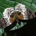 Diaeus variegata