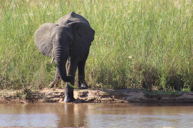 Elephant at the River Bed