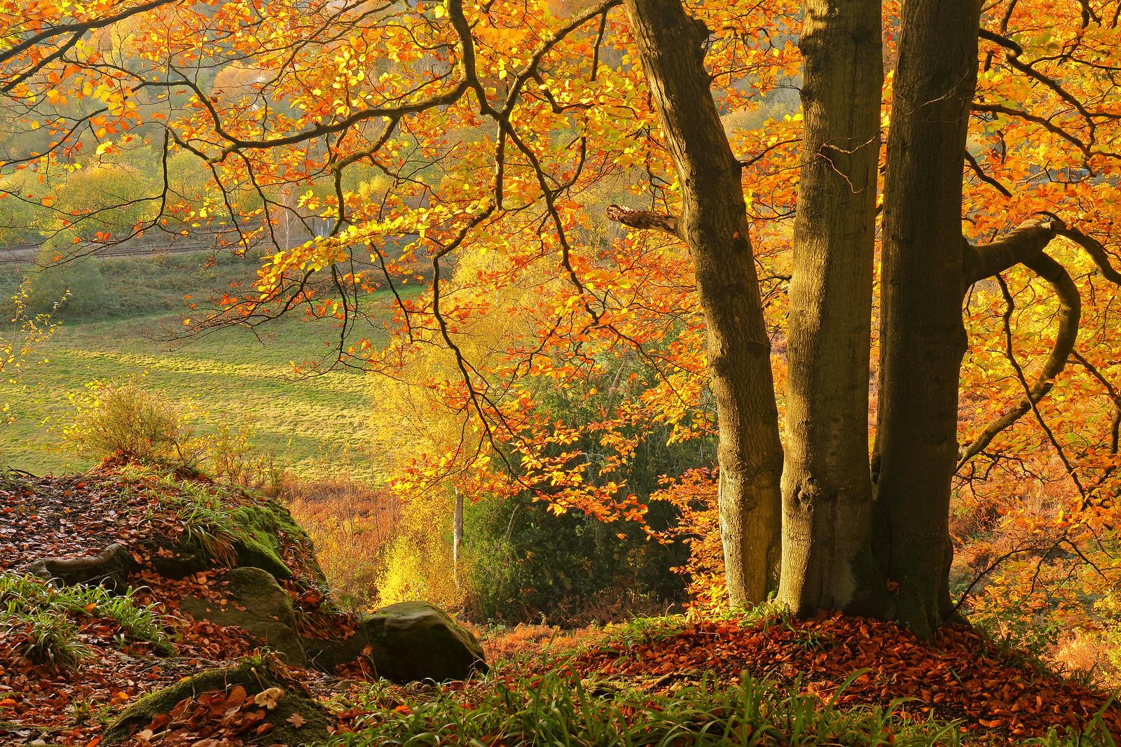 Beech Tree in November Colour