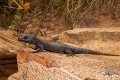 Cordylus niger  - Black Girdled Lizard.