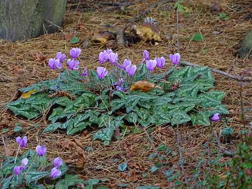 Cyclamen at Harlow Carr