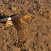 Northern Harrier flew by 7DC_1959