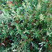 Quercus pumila Walter 1788 (FAGACEAE).