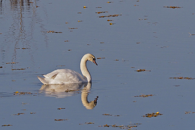 Mirrored swan in the afternoon sunlight