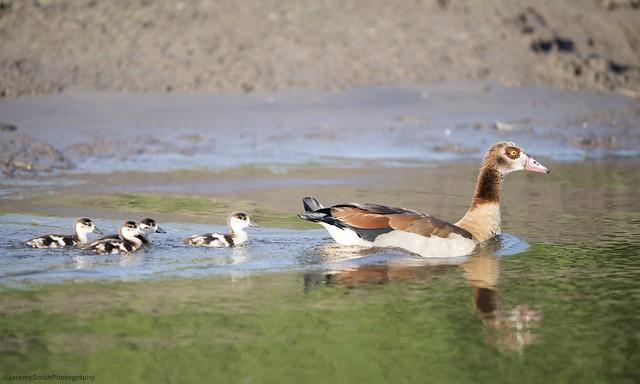 Egyptian Goose, Alopochen aegyptica, Msuna Fishing resort, Zambezi River, Zimbabwe